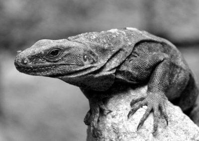 Iguana, Mexico | Ⓒ JCNicholson