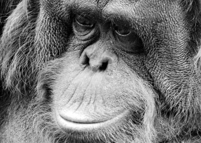 Orangutan, Malaysia | Ⓒ JCNicholson