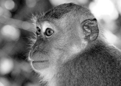 Monkey, Malaysia | Ⓒ JCNicholson